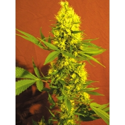 Silver shark Green Factory Seeds