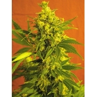 Double Big Shark Green Factory Seeds