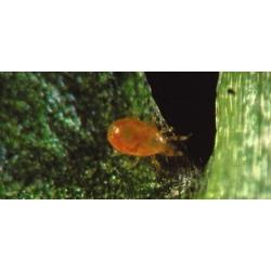 Amblyseius Californicus 5000 (Spical)