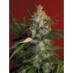 Fruit Max Green Factory Seeds