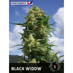 BLACK WIDOW 100%